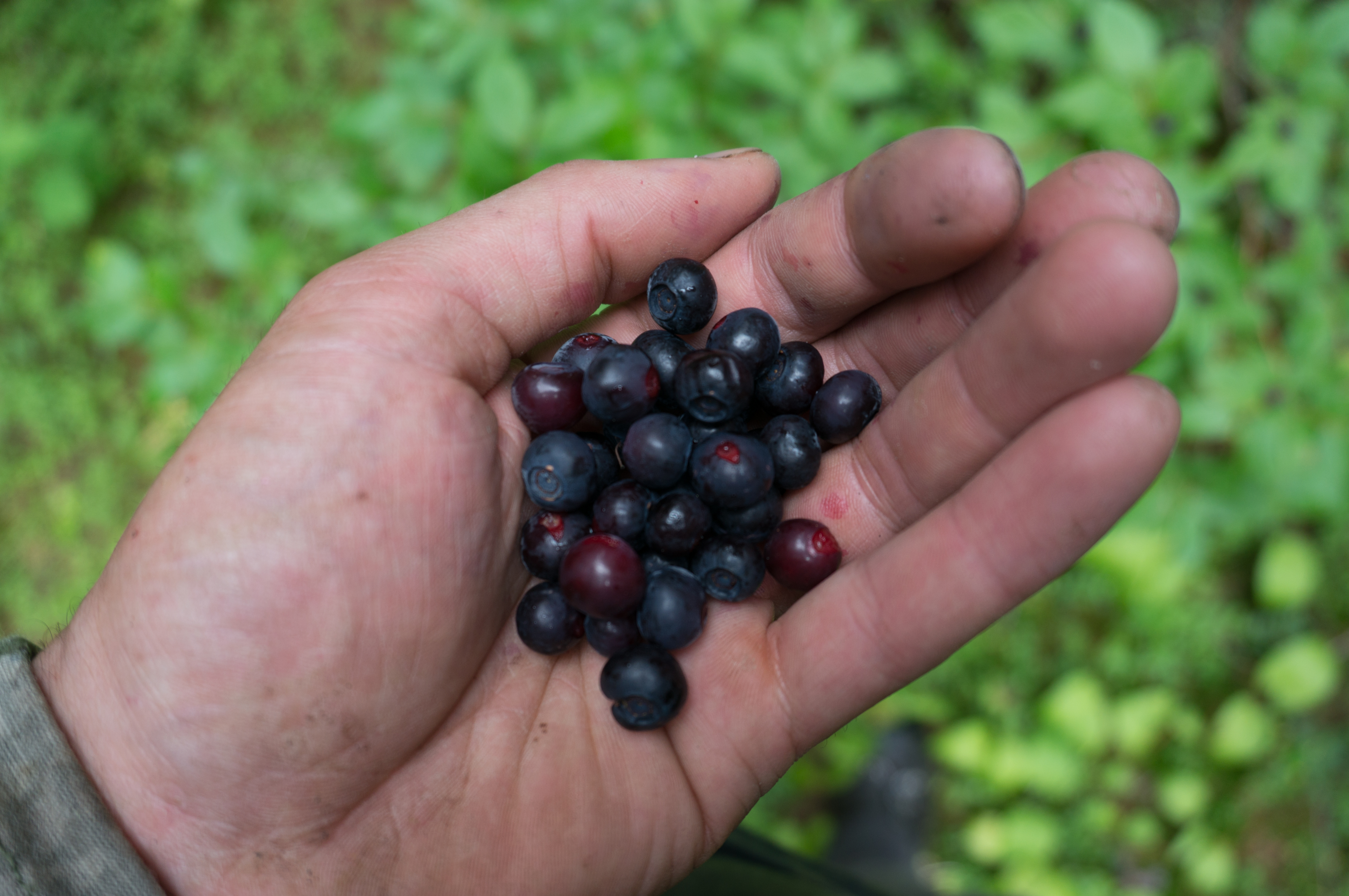 Huckleberries (Vaccinium membraneceum) are a key food for bears in the Flathead.