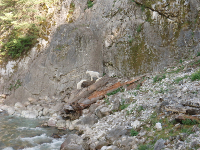 Mountain goats (Oreamnos americanus) are another species found in the Flathead.
