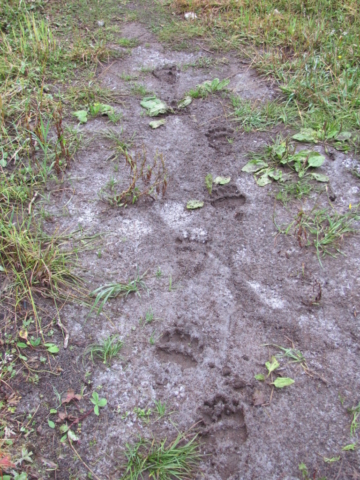 Imprints of grizzly bear paws in the mud