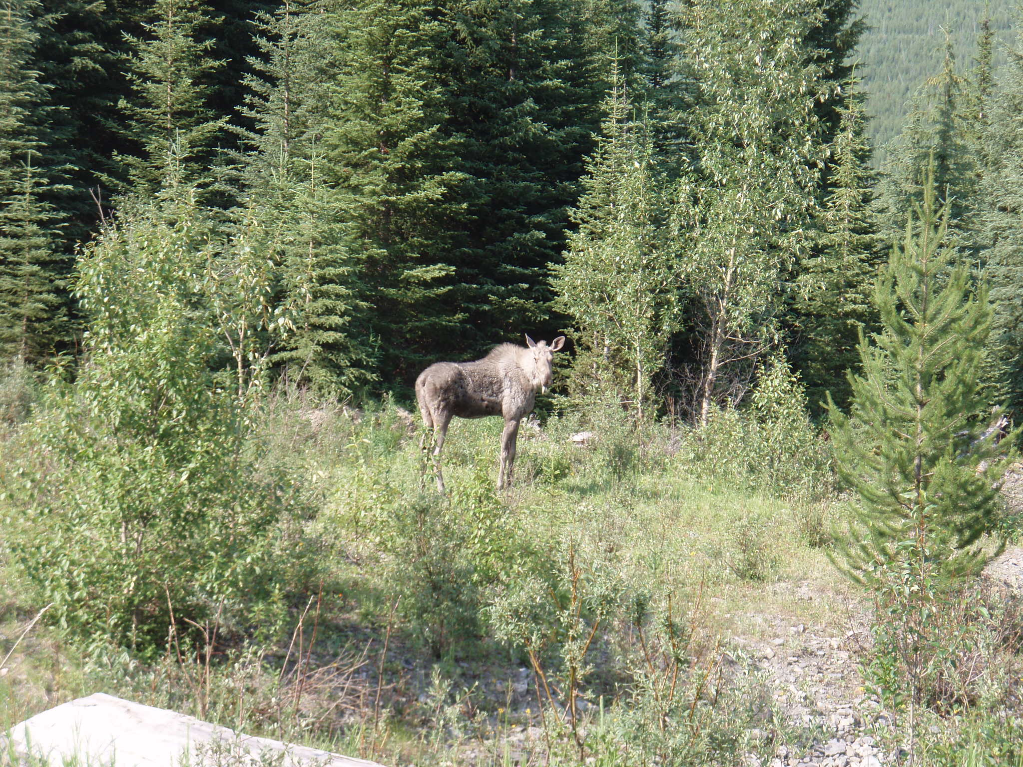 Moose (Alces alces) can also be found in the Flathead valley